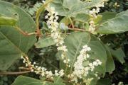 Japanese Knotweed Mortgage Problems